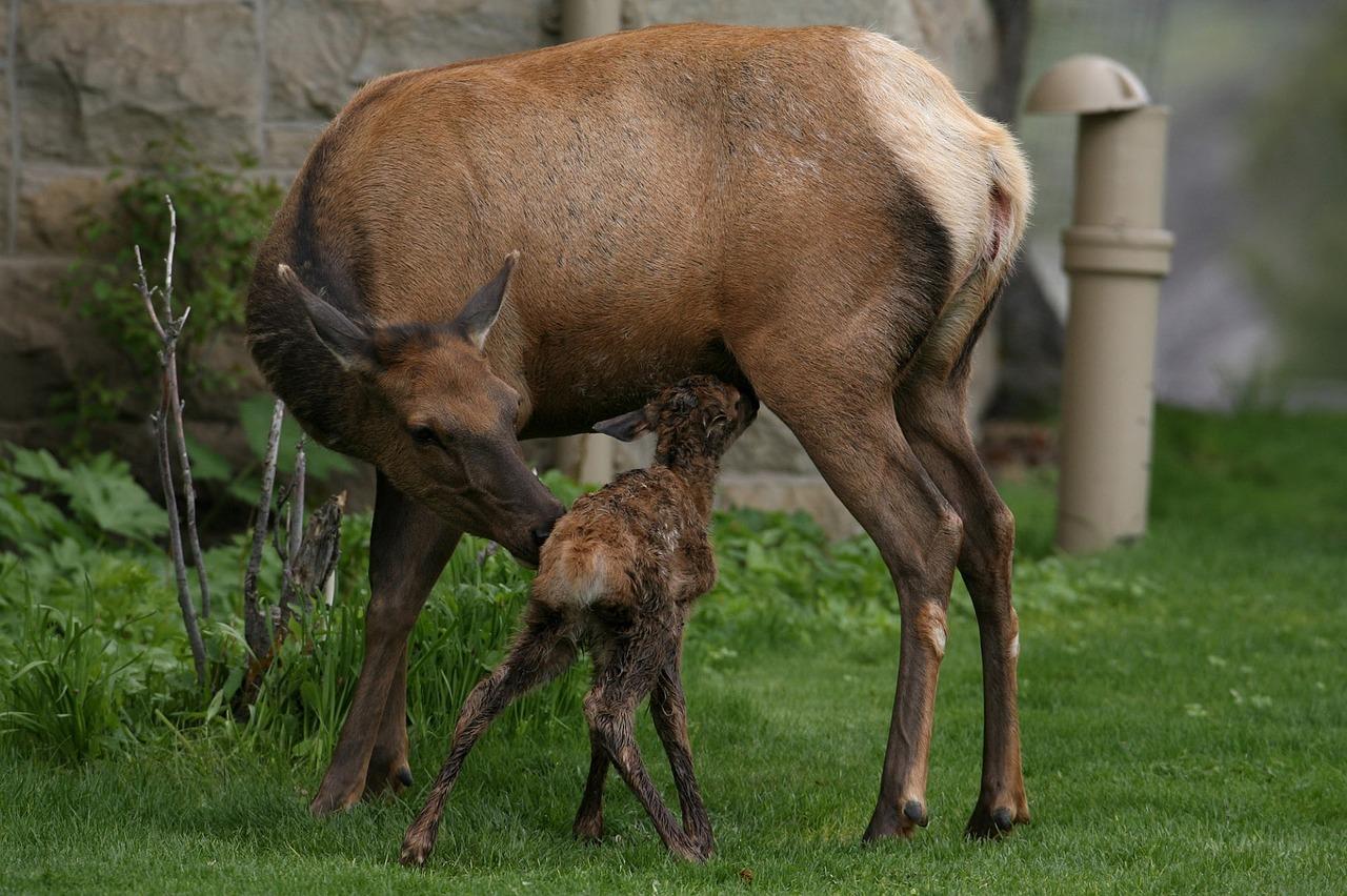 Moederhert met babyhertje